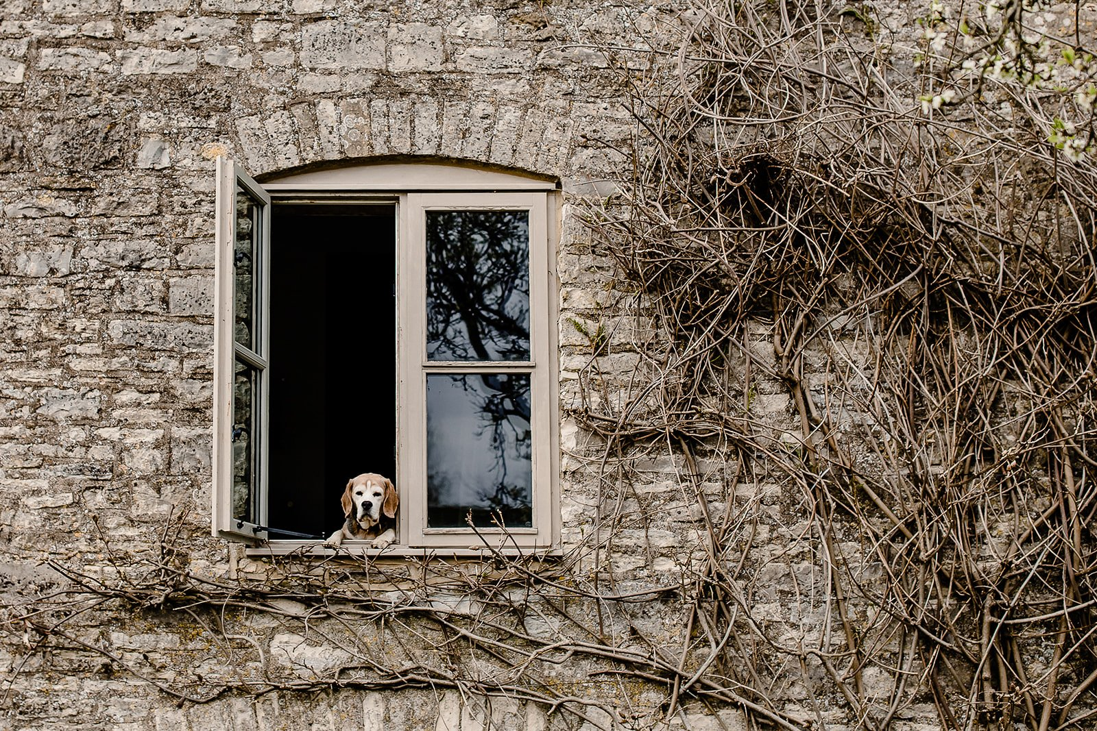 Beagle at the window